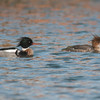 Red-breasted Mergansers, Mergus serrator 9808