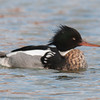 Red-breasted Merganser, Mergus serrator, male 9854