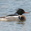 Red-breasted Merganser, Mergus serrator, male 9857