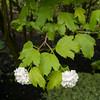 Guelder Rose, Viburnum Opulus, Philip Jackson's Garden 6320