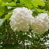 Guelder Rose, Viburnum Opulus, Philip Jackson's Garden 6317