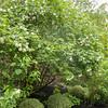 Guelder Rose, Viburnum Opulus, Philip Jackson's Garden 6321