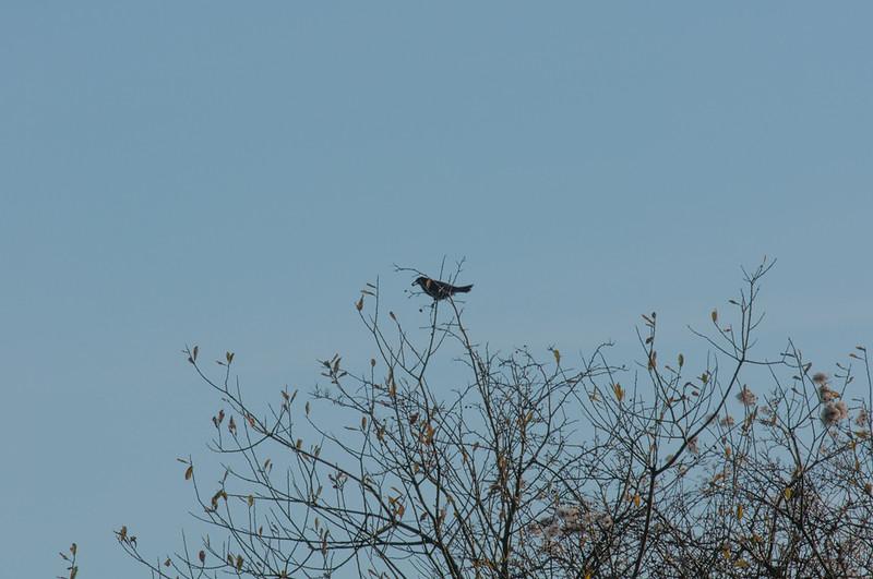 Blackbird, Turdus merula 6314