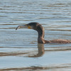 Cormorant, Phalacrocorax carbo 6162