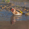 Goldfinch, Carduelis carduelis 6528