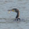 Cormorant, Phalacrocorax carbo 6177