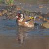 Goldfinch, Carduelis carduelis 6519