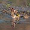 Goldfinch, Carduelis carduelis 6522