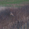 Short-eared Owl, Asio flammeus 6918
