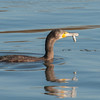 Cormorant, Phalacrocorax carbo 6289
