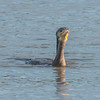 Cormorant, Phalacrocorax carbo 6191