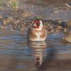 Goldfinch, Carduelis carduelis 6494