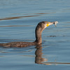 Cormorant, Phalacrocorax carbo 6291