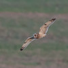 Short-eared Owl, Asio flammeus 6923