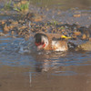 Goldfinch, Carduelis carduelis 6527
