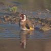 Goldfinch, Carduelis carduelis 6521