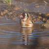 Goldfinch, Carduelis carduelis 6500