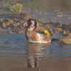 Goldfinch, Carduelis carduelis 6520