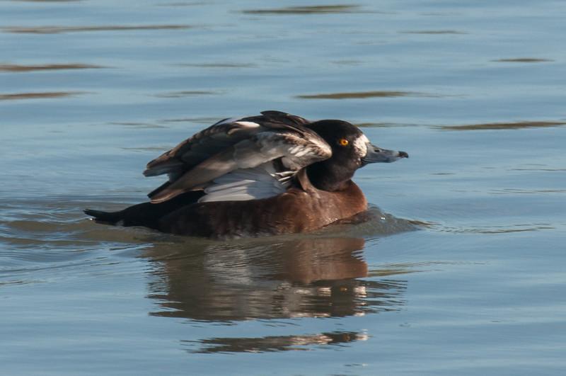 Tufted Duck, Aythya fuligula 6282