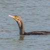 Cormorant, Phalacrocorax carbo 6188