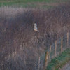 Short-eared Owl, Asio flammeus 6917