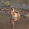 Goldfinch, Carduelis carduelis 6524