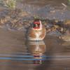Goldfinch, Carduelis carduelis 6495