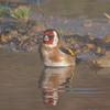 Goldfinch, Carduelis carduelis 6508