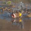 Goldfinch, Carduelis carduelis 6525