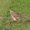 Kestrel eating vole, Falco tinnunculus 6401