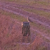 Short-eared Owl, Asio flammeus 6950