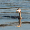 Cormorant, Phalacrocorax carbo 6159