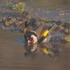 Goldfinch, Carduelis carduelis 6518