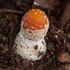 Fly Agaric, Amanita muscaria var  muscaria 9441