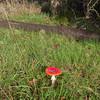 Fly Agaric, Amanita muscaria var  muscaria 8022