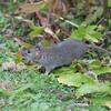 Brown Rat, Rattus norvegicus 3187