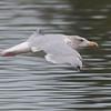 Herring Gull, Larus argentatus 3324