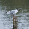 Black-headed Gull, Chroicocephalus ridibundus 3279
