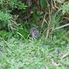 Brown Rat, Rattus norvegicus 3201