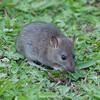 Brown Rat, Rattus norvegicus 3193