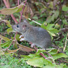 Brown Rat, Rattus norvegicus 3188