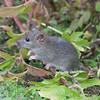Brown Rat, Rattus norvegicus 3189