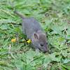 Brown Rat, Rattus norvegicus 3222