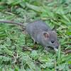 Brown Rat, Rattus norvegicus 3227