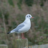 Black-headed Gull, Chroicocephalus ridibundus 3157