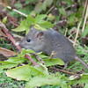 Brown Rat, Rattus norvegicus 3186