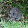 Brown Rat, Rattus norvegicus 3178