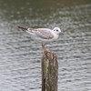 Black-headed Gull, Chroicocephalus ridibundus 3281