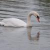 Mute Swan, Cygnus olor 3301