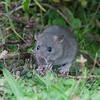 Brown Rat, Rattus norvegicus 3180